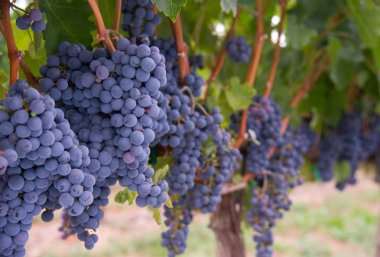 Lush Food Fruit Grape Clusters Agricultural Vine Farm Field