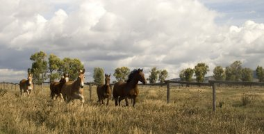 Wild Animal Horses Stampede Running Along Fence Senses Aware