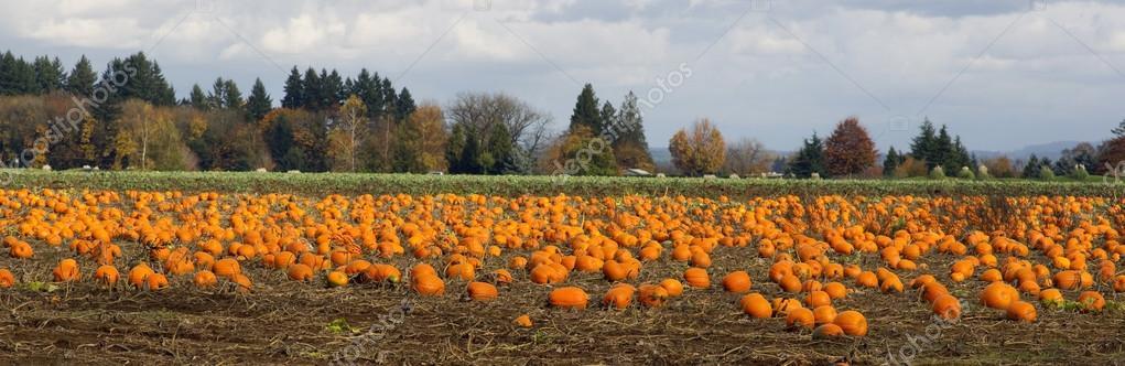 Panoramic Scene Farm Field Pumpkin Patch Vegetables Ripe Harvest