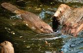 Fotografie North American Beaver Castor Canadensis Wild Animal Swimming Dam