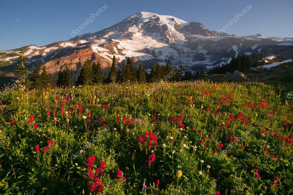 Cascade Range Rainier National Park Mountain Paradise Meadow Wildflowers