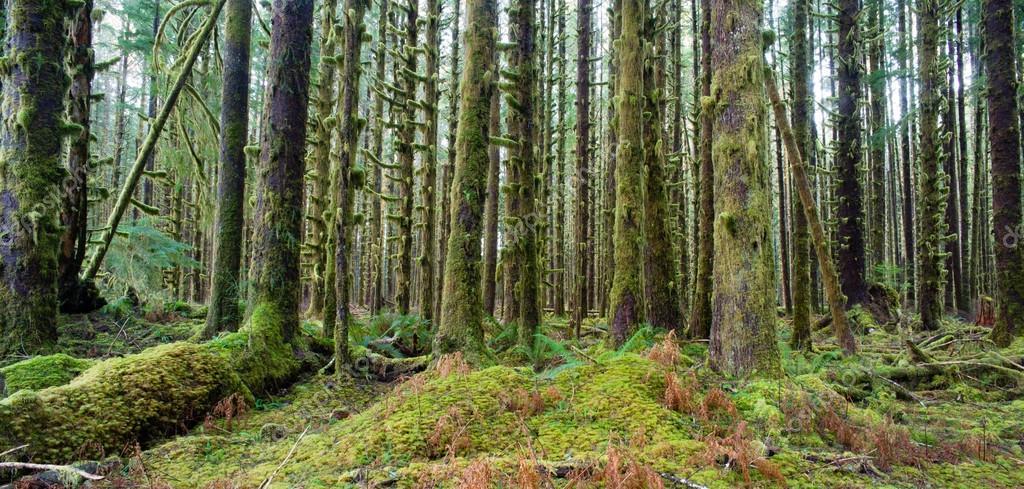 Cedar Trees Deep Forest Green Moss Covered Growth Hoh Rainforest