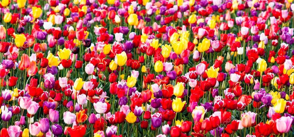 tulipes champ rouge ampoules violet jaune fleurs tulip ferme