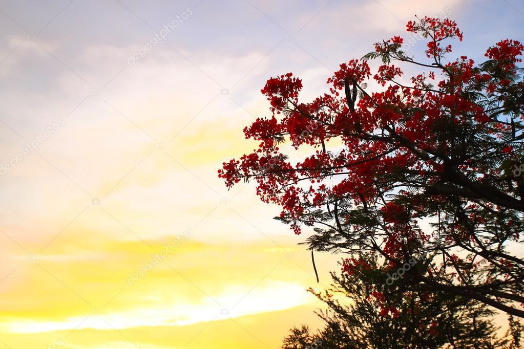 Peacock flowers on evening sky.