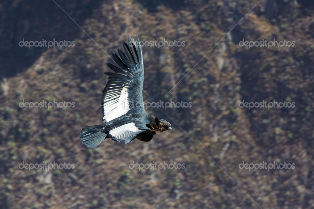 Condor über Colca Canyon Peru Südamerika Zu Fliegen Dies Ist