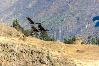 Flying condor over Colca canyon