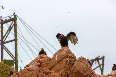 Vulture red neck birds