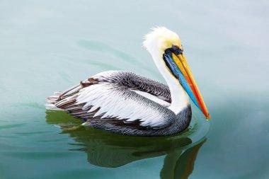 Pelican on Ballestas Islands