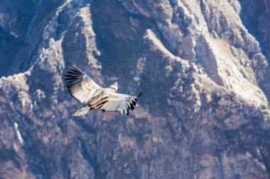 Flying condor over Colca canyon, Peru, South America stock vector