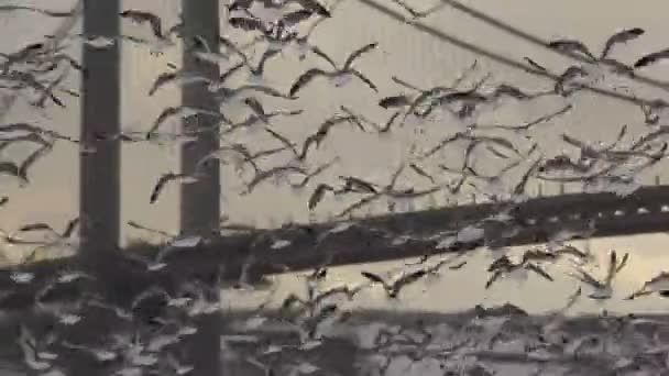 Dlouhý záběr racků ptáci vzletu (smíšené ostatní - soumrak)
