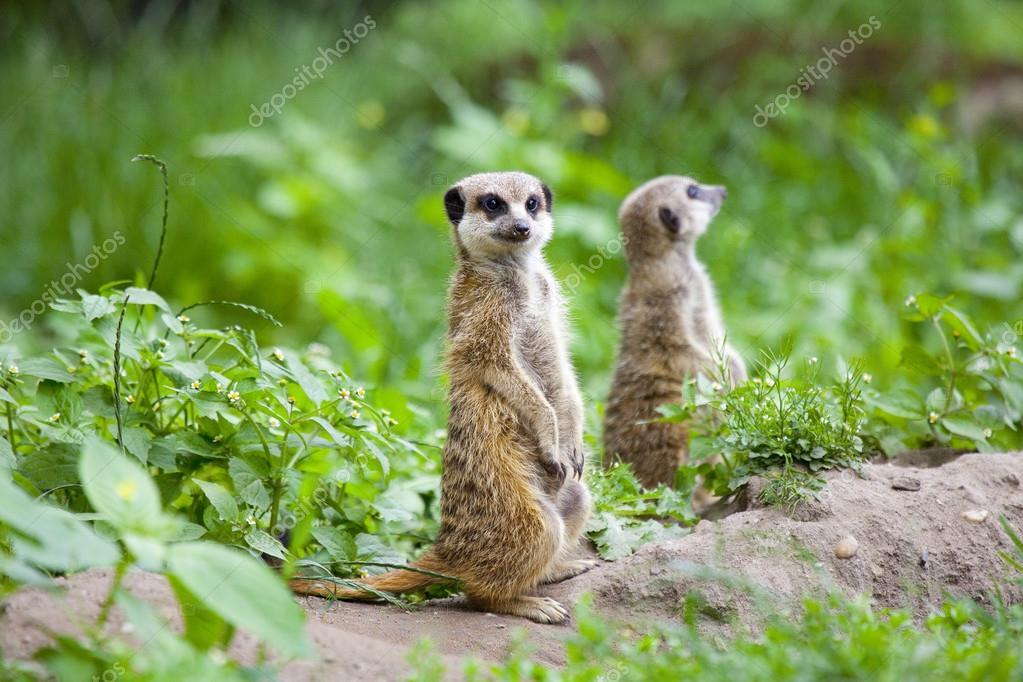 Watchful meerkats