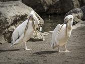 Pelikáni v přírodě