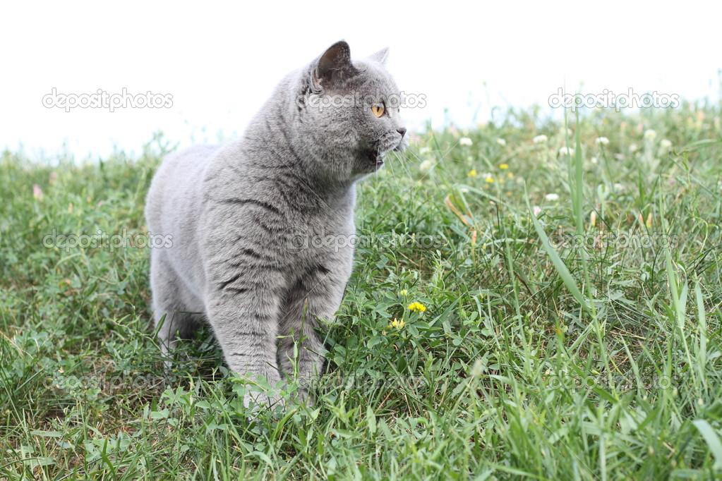 Британская короткошерстная кошка (30 фото) | 682x1023