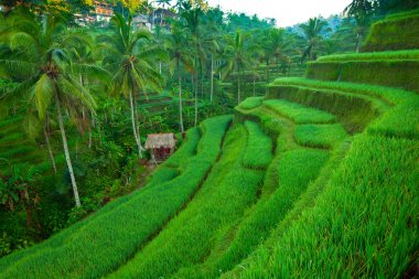 Terrace rice fields on Bali island, Indonesia.