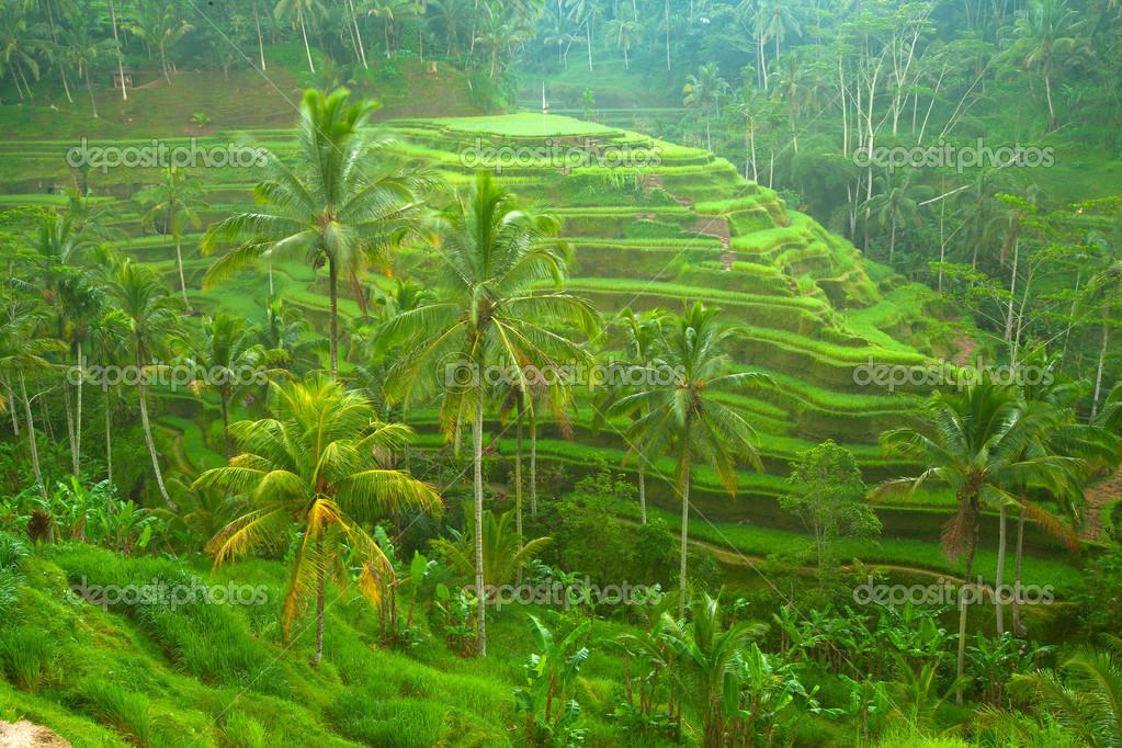 Rice fields on Bali island, Indonesia.