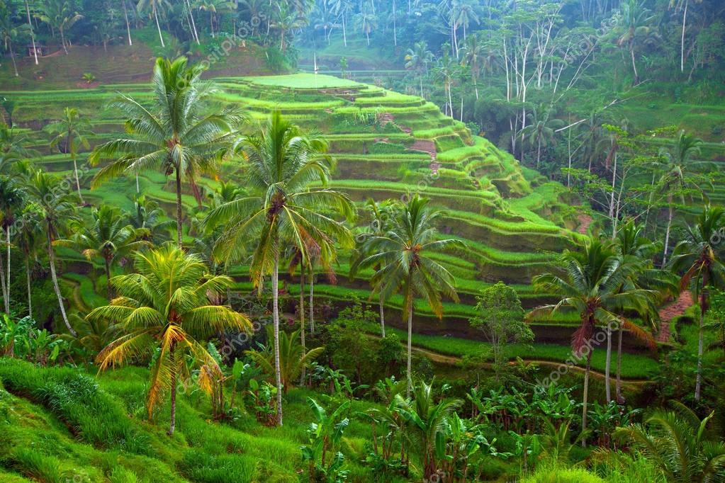Risaie A Terrazza Sull Isola Di Bali Indonesia Foto