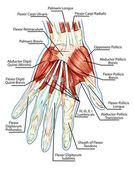 anatomie svalové soustavy - rukou, dlaní svalů - šlachy, vazy - vzdělávací biologické desky