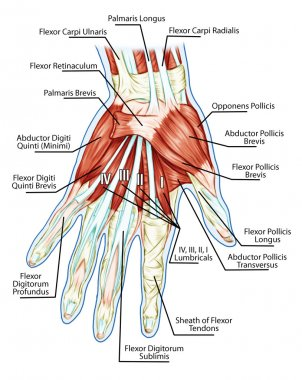 Anatomy of muscular system - hand, palm muscle - tendons, ligaments - educational biological board