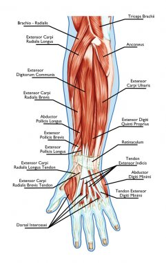 Anatomy of muscular system - hand, forearm, palm muscle - tendons, ligaments - educational - biological board