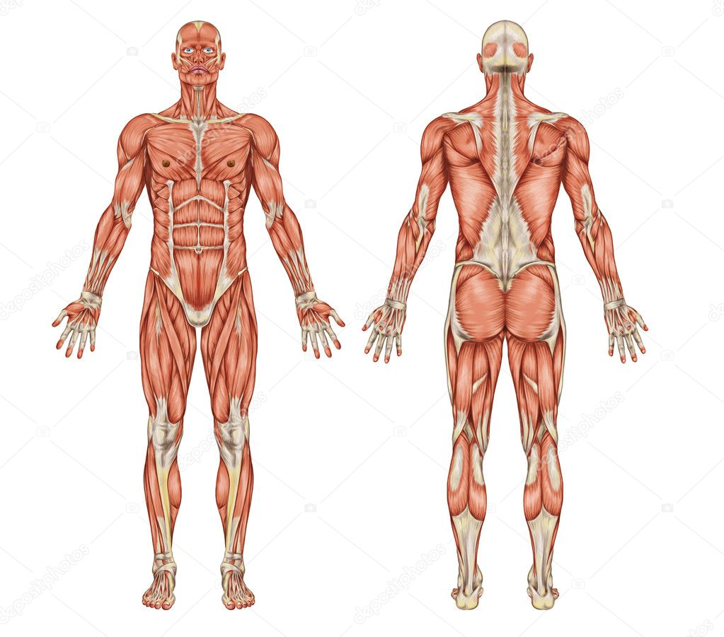 Anatomy Of Male Muscular System Posterior And Anterior View Full