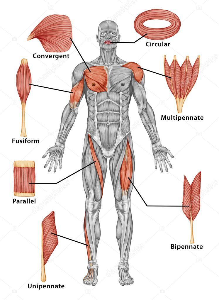 Anatomie du système musculaire mâle - vue postérieure du muscle type ...