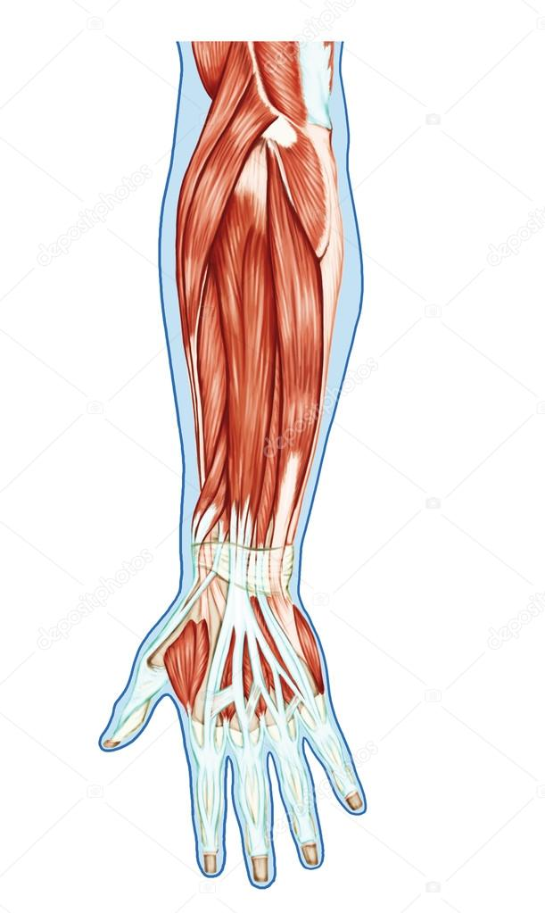 Anatomy of muscular system – hand, forearm, palm muscle - tendons ...