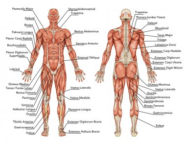 Anatomy of male muscular system - posterior and anterior view - full body - didactic