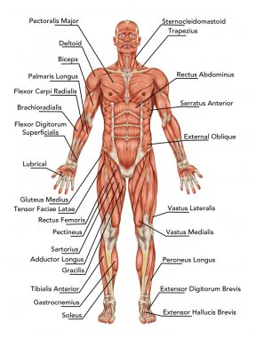 Anatomy of man muscular system - anterior view – didactic