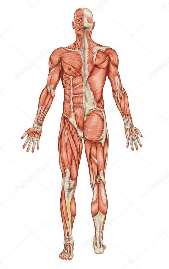 Anatomía del sistema muscular masculino - vista posterior y anterior ...