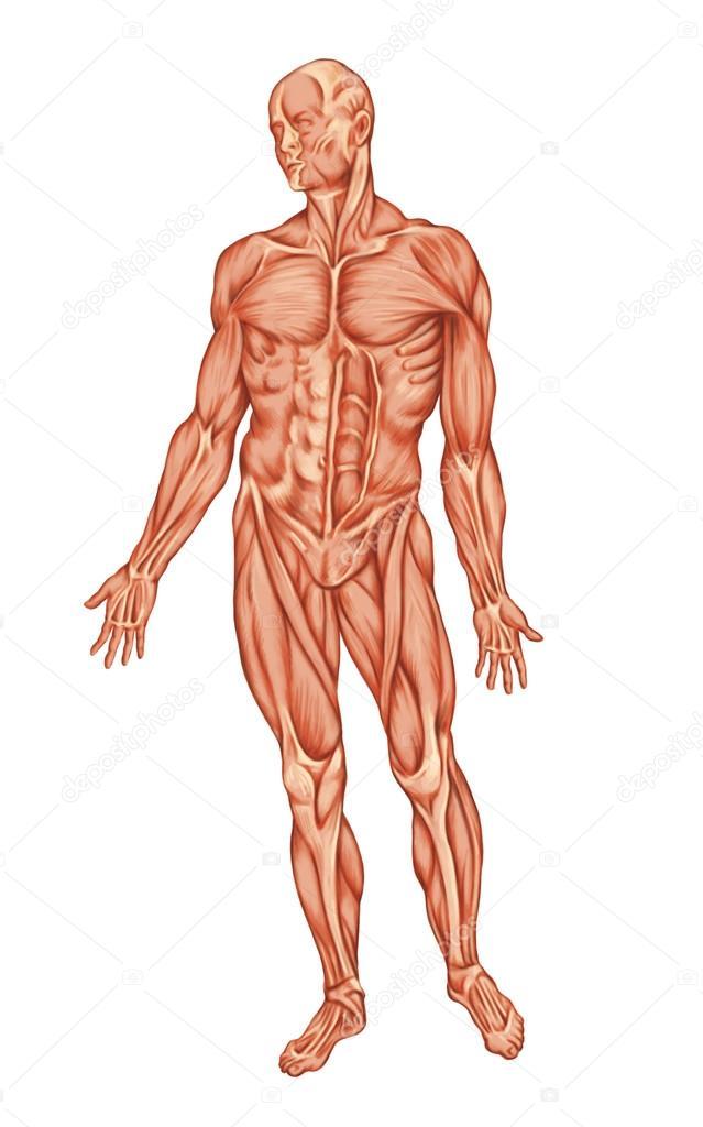 Anatomía de ecorche sistema muscular - vista anterior - hombre ...