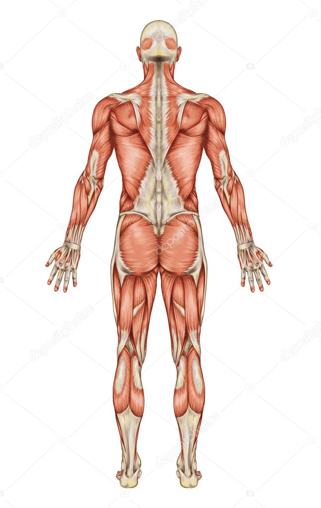 Anatomy Of Male Muscular System Posterior View Full Body Stock