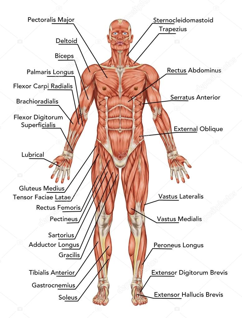 Anatomy Of Man Muscular System Anterior View Didactic Stock