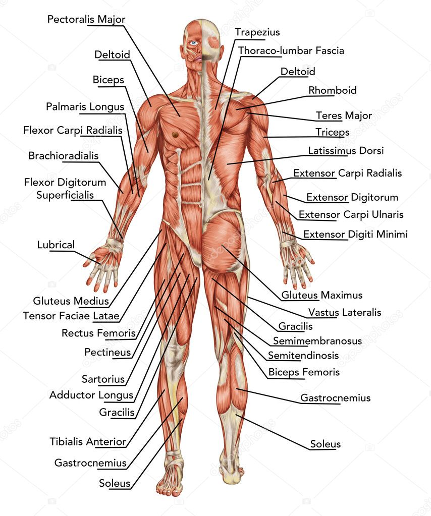 Anatomy of male muscular system - posterior and anterior view - full ...