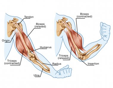 Movement of the arm and hand muscles - board