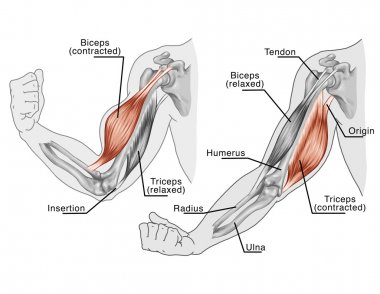 Movement of the arm and hand muscles