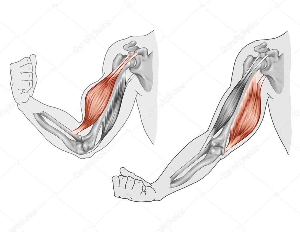 bíceps, tríceps - Movimiento de los músculos del brazo y la mano ...