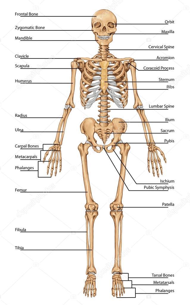 Le squelette humain Dictionnaire Visuel - IKONETCOM