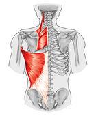 romboide minore e maggiore romboide, scapole di levator e dorsi di latissimus muscoli - Consiglio didattico di anatomia del sistema osseo e muscolare umano, vista posteriore