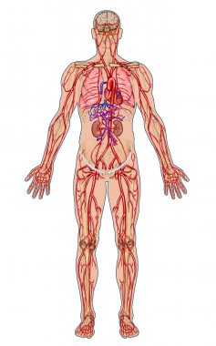 Human bloodstream - didactic board of anatomy of blood system of human circulation sanguine, cardiovascular, vascular and arterial system