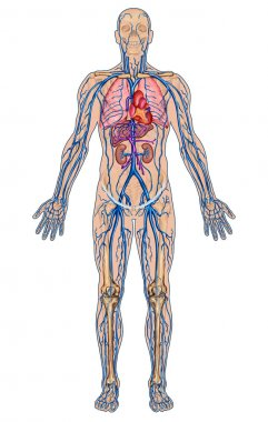 Human bloodstream - didactic board of anatomy of blood system of human circulation sanguine, cardiovascular, vascular and venous system