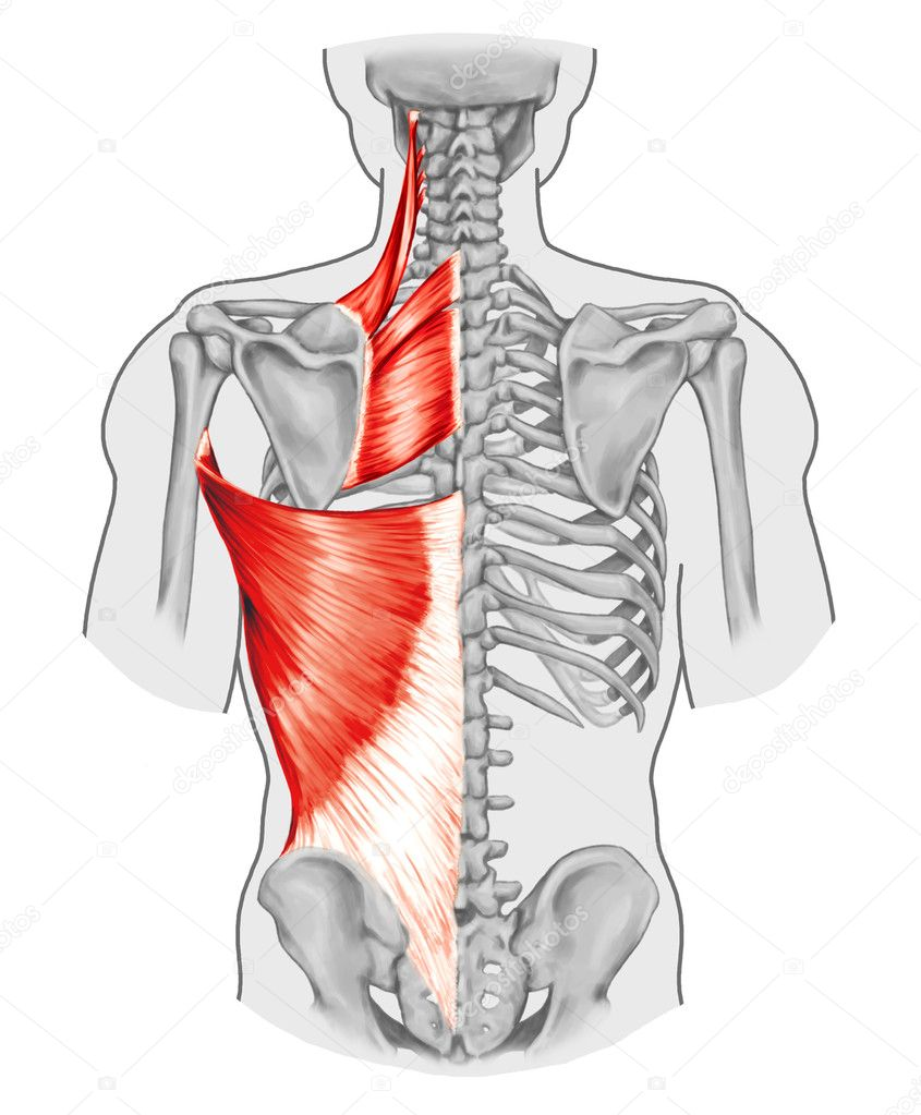 rhomboid minor and rhomboid major levator scapulae and latissimus