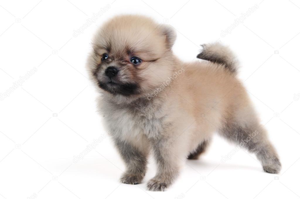Pomerania cachorro crema — Foto de stock © antpkr #50873337