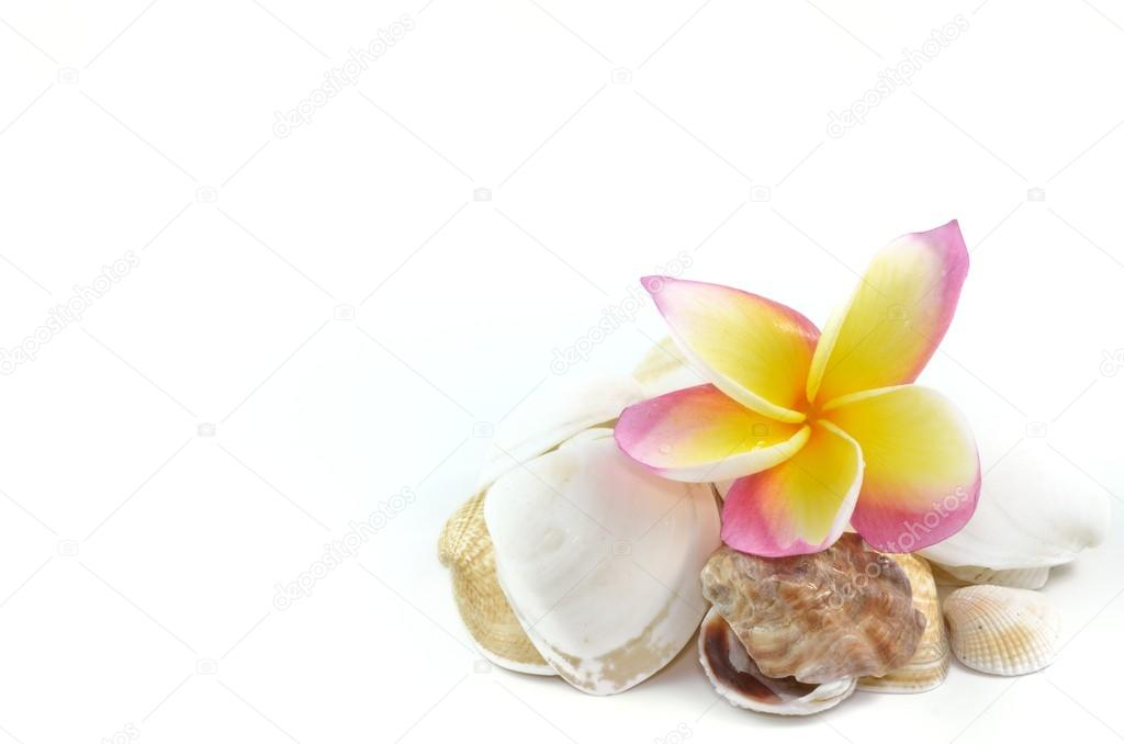 Plumeria flowers and sea shell