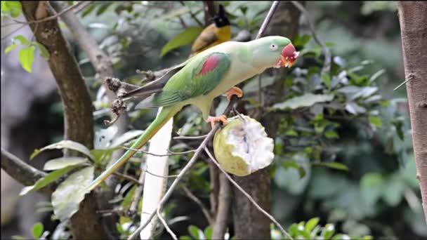 Papoušek jíst guava