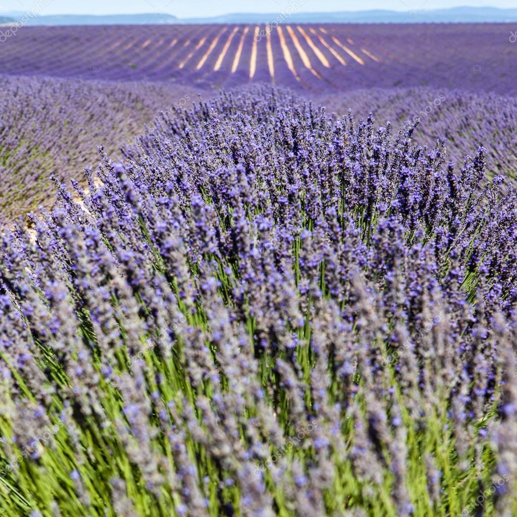 Lavender fields, Provence