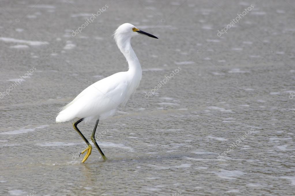 witte vogel