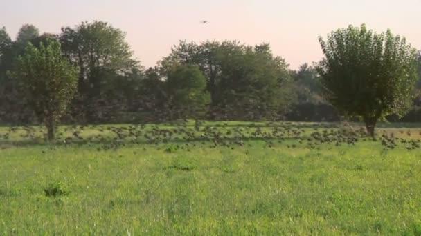 hejno ptáků letící nad polem