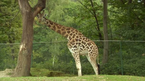 žirafa v safari park
