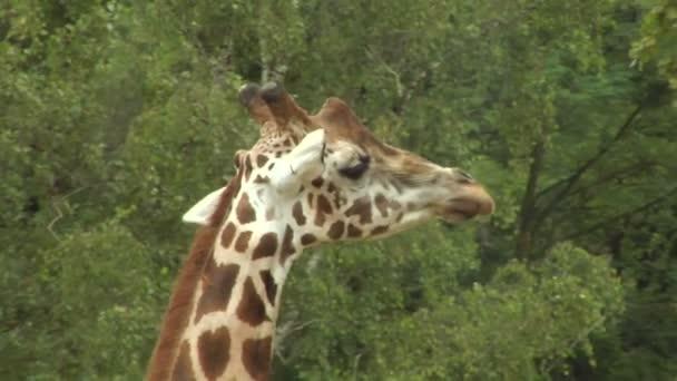 zblízka na žirafu