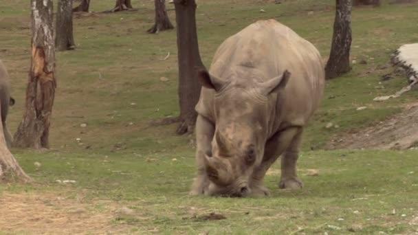 Nosorožec, pasoucí se na trávu
